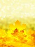 Цветастые кленовые листы падения Стоковое фото RF