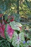 Цветастые листья Caladium - ароидные Стоковые Фото
