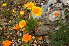 цветастые маки Стоковые Фото