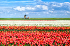 Цветастые поля тюльпана в Алкмаре Стоковая Фотография