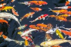 Цветастые рыбы вырезубов Стоковая Фотография RF