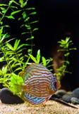 цветастые рыбы discus Стоковое Изображение