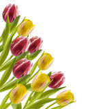 Цветастые тюльпаны в рядке стоковые изображения rf