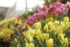 Цветастые тюльпаны в саде Стоковое Изображение RF