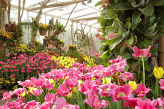Цветастые тюльпаны в саде Стоковое фото RF