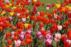 цветастые тюльпаны Стоковые Фотографии RF