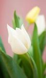 цветастые тюльпаны Стоковая Фотография
