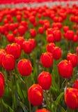 цветастые тюльпаны поля Стоковая Фотография RF