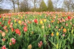 цветастые тюльпаны поля стоковые изображения rf
