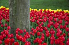 цветастые тюльпаны Стоковое Фото