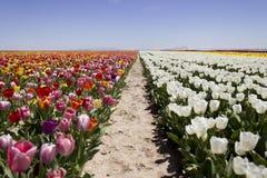 цветастые тюльпаны Стоковая Фотография RF