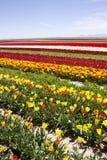 цветастые тюльпаны Стоковое Изображение