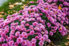 Цветастые хризантемы bushes в саде Стоковые Изображения RF