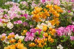 Цветастые цветки бугинвилии Стоковая Фотография