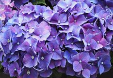 Цветастые цветки гортензии стоковое изображение