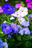 Цветастые цветки петуньи закрывают вверх Стоковое Изображение