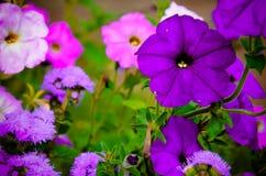 Цветастые цветки петуньи закрывают вверх Стоковые Изображения RF