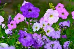 Цветастые цветки петуньи закрывают вверх Стоковая Фотография RF