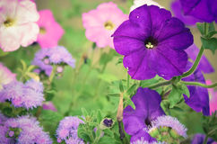 Цветастые цветки петуньи закрывают вверх Стоковое Фото