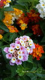 цветастые цветки Стоковое Изображение