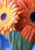 цветастые gerbers Стоковые Фото