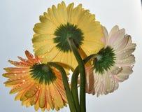 цветастые gerbers Стоковая Фотография RF