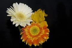 цветастые gerbers Стоковые Изображения