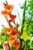 цветастые gladiolas Стоковые Фотографии RF