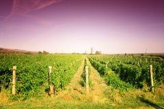 цветастый виноградник ландшафта Стоковые Фото