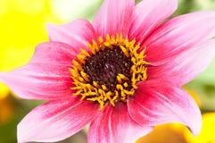 цветастый георгин стоковая фотография