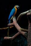 Цветастый голубой macaw попыгая стоковое изображение