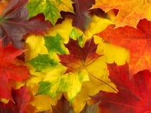 цветастый клен листьев стоковая фотография rf