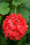Цветастый красный цвет цветка Стоковое фото RF