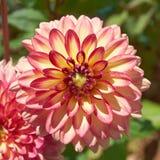 Цветастый крупный план цветка георгина Стоковая Фотография
