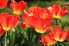 Цветастый крупный план тюльпанов Стоковая Фотография RF