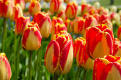 Цветастый крупный план тюльпанов Стоковое Изображение RF