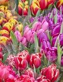 Цветастый крупный план тюльпанов Стоковая Фотография
