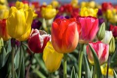 Цветастый крупный план тюльпанов Стоковые Изображения RF