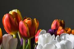 Цветастый крупный план тюльпанов Стоковое Фото