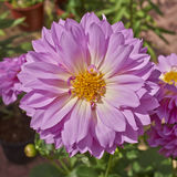 Цветастый крупный план цветка георгина Стоковое Фото
