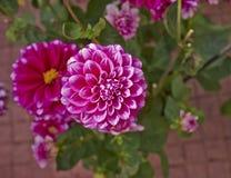 Цветастый крупный план цветка георгина Стоковая Фотография RF