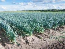 Цветастый ландшафт с растущими лук-пореями Стоковое фото RF