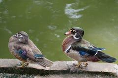 цветастый мандарин утки Стоковая Фотография