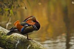 цветастый мандарин утки стоковое изображение rf