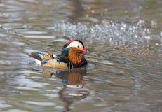 цветастый мандарин утки Стоковые Фото