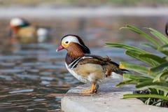 цветастый мандарин утки Стоковая Фотография RF