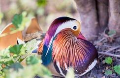 цветастый мандарин утки Стоковое Фото