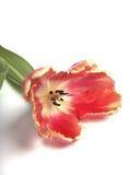 цветастый мертвый тюльпан Стоковая Фотография