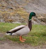 цветастый мужчина утки стоковое фото rf