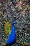 цветастый павлин Стоковое фото RF